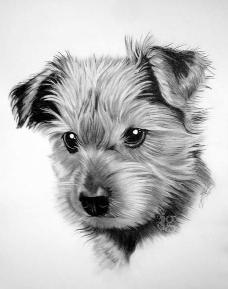 Art Galleries - Yorkshire Terrier puppy pencil drawing by Haylo - 141619